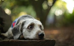 Picture forest, dog, forest, dog, bokeh, bokeh, looking, lazy, lazy, looking