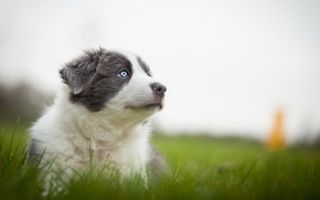 Picture grass, nature, grey, dog, meadow, muzzle, puppy, Wallpaper from lolita777, Aussie