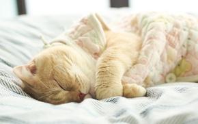 Picture cat, bed, sleeping, beige, British