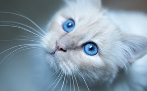 Picture widescreen, blue eyes, Cat, animal, mustache, nose