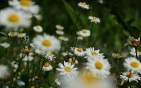 Picture flowers, chamomile, Midge