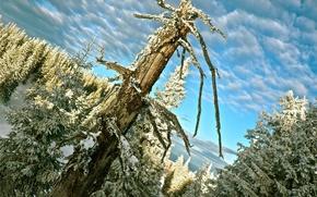 Wallpaper trees, snow, winter