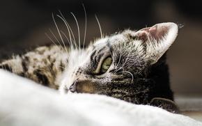 Picture cat, look, animal