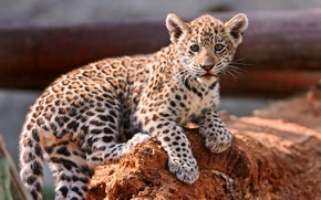 Picture leopard, cub, kitty