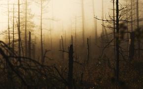 Picture forest, pine, windbreak