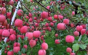 Picture autumn, water, drops, Rosa, apples, garden, harvest