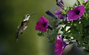 Picture macro, flowers, bird, Hummingbird, Petunia