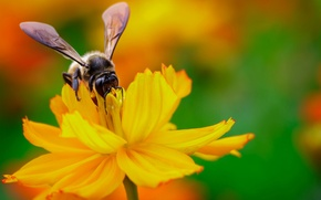 Wallpaper flower, yellow, nectar, bee, wings, focus, insect