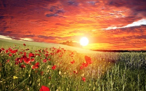 Picture field, the sky, grass, the sun, clouds, sunset, flowers, Maki, red