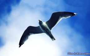 Picture the sky, flying Seagull, Chuck, Seagull in the sky