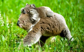Wallpaper Koala, nature, grass, bear