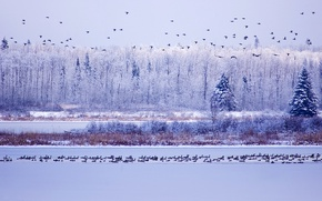 Picture winter, the sky, water, snow, trees, Canada, Albert, geese, Elk Island National Park
