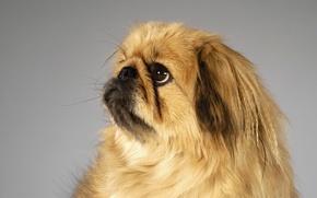 Picture face, dog, Pekingese