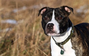 Picture each, dog, English Staffordshire bull Terrier, Staffordshire Bull Terrier