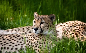 Picture grass, Cheetah