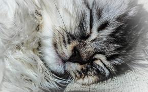 Picture grey, Cat, fluff