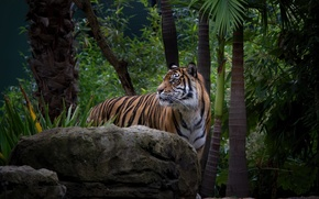 Picture face, tiger, thickets, predator, wild cat, zoo