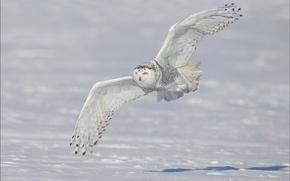Picture winter, snow, wings, flight, snowy owl, white owl, snowy owl