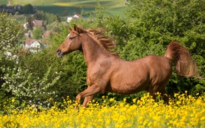 Picture summer, horse, horse, meadow, red, running, mane, (с) Oliver Seitz