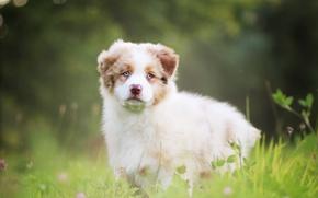 Wallpaper dog, puppy, Australian shepherd, Aussie