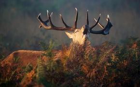 Wallpaper horns, fern, deer