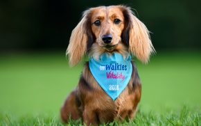 Picture grass, look, dog, posing, Dachshund