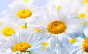 Picture nature, chamomile, petals, flowers