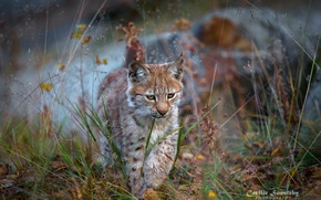 Picture predator, walk, cub, lynx, wild cat, a small lynx