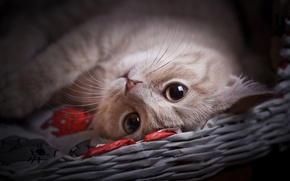 Picture cat, eyes, cat, look, face, kitty, lies, cutie, peach