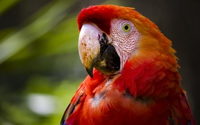 Picture bird, parrot, Red macaw