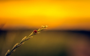 Picture field, ladybug, stalk, seeds, sunset.jpg