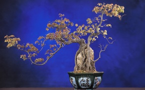 Wallpaper nature, tree, bonsai, plant, blue background