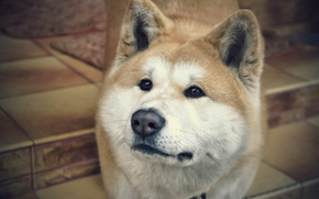 Picture animals, different, Akita inu
