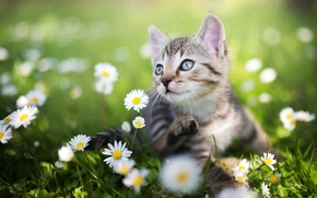 Picture greens, summer, grass, chamomile, kitty, bokeh