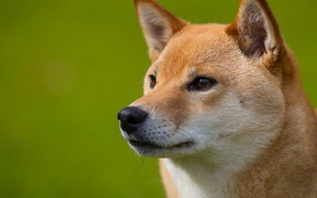 Picture look, each, Dog, muzzle, profile, ginger, Shiba inu