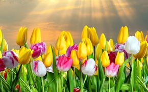 Picture rays, spring, tulips