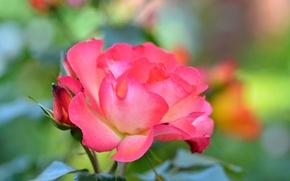 Picture macro, rose, Bush, petals