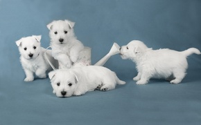 Picture dogs, puppies, white terriers