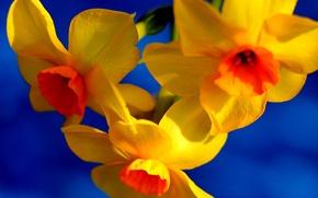 Picture flowers, paint, petals, Narcissus