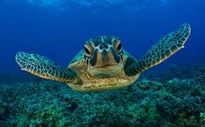 Picture underwater, sea, life, turtle