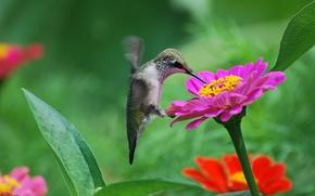 Wallpaper flowers, nectar, bird, pink, Hummingbird, tsiniya