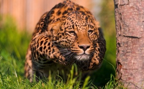 Wallpaper leopard, readiness, throw, stand