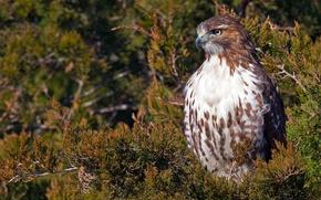 Picture bird, branch, hawk, Red-tailed Buzzard