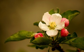 Picture flower, leaves, buds, flower, leaves, buds, Apple blossoms, apple blossom