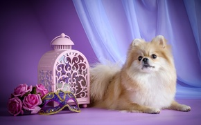 Picture roses, mask, lantern, puppy, Spitz