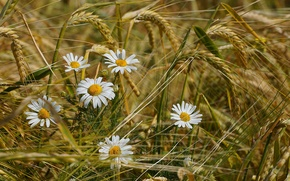 Picture wheat, field, summer, flowers, chamomile, spikelets