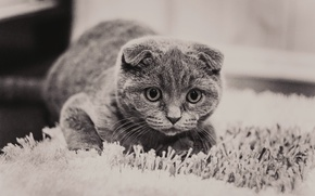 Picture cat, grey, pussy, looks, eyes.look, British