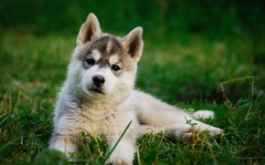 Picture grass, puppy, husky