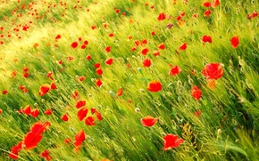Wallpaper red, Maki, field, nature, plants, Wild poppy