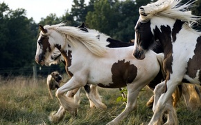Picture GRASS, WHITE, SPOT, COLOR, HORSE, CORRAL, The HERD, MANE, PASTURE, BRAIDS, DOG, The FENCE